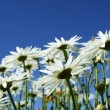 Wild daisies - Stock Photo