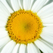 Daisy — Stock Photo #4010585