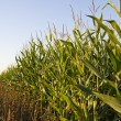 Corn field - Foto de Stock
