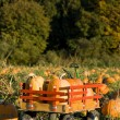 Stock Photo: Pumpkin harvest