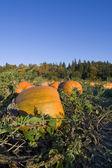 Pumpkins harvest — Stock Photo