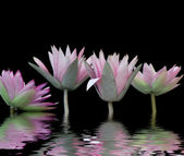 Water-lilies — Stock Photo