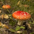 Toadstool at the forest — Stock Photo