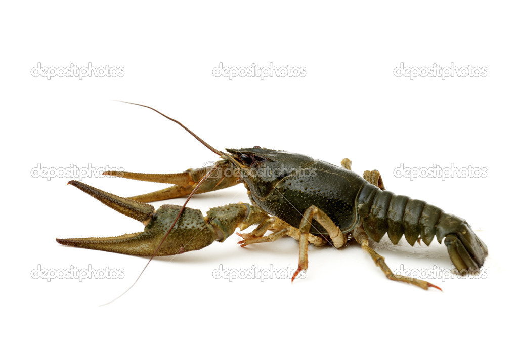 Green Crayfish isolated on a white background. — Stock Photo #4596807