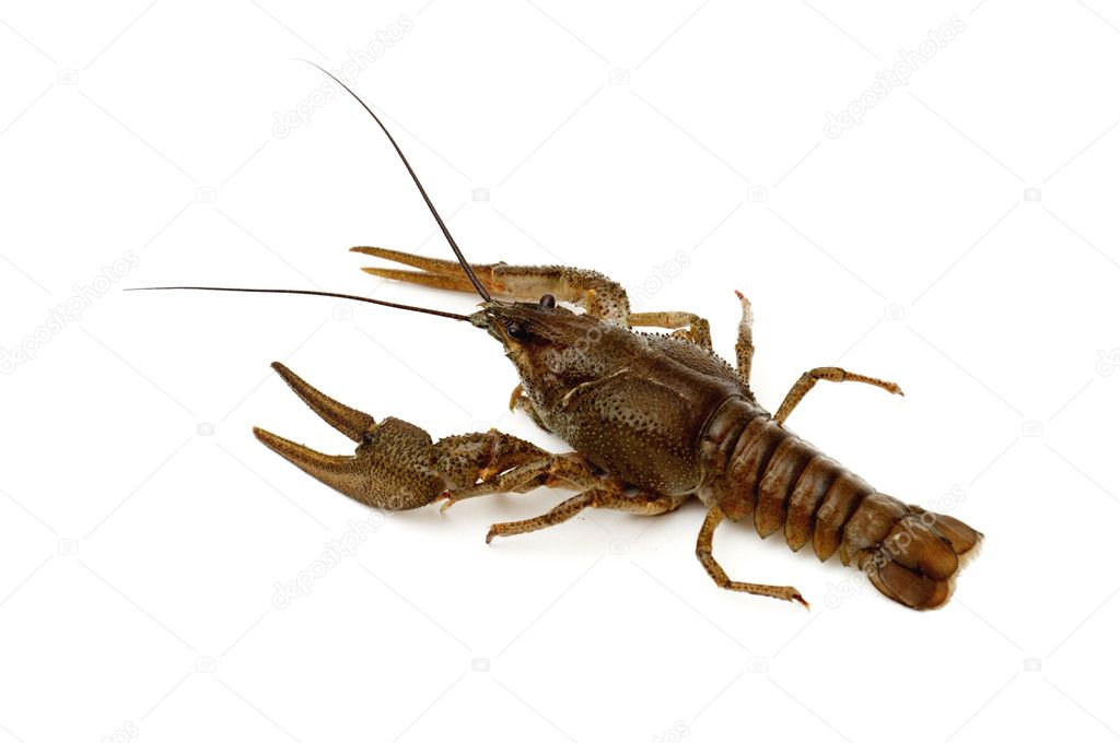 Brown Crayfish isolated on a white background.  Stock Photo #4596812