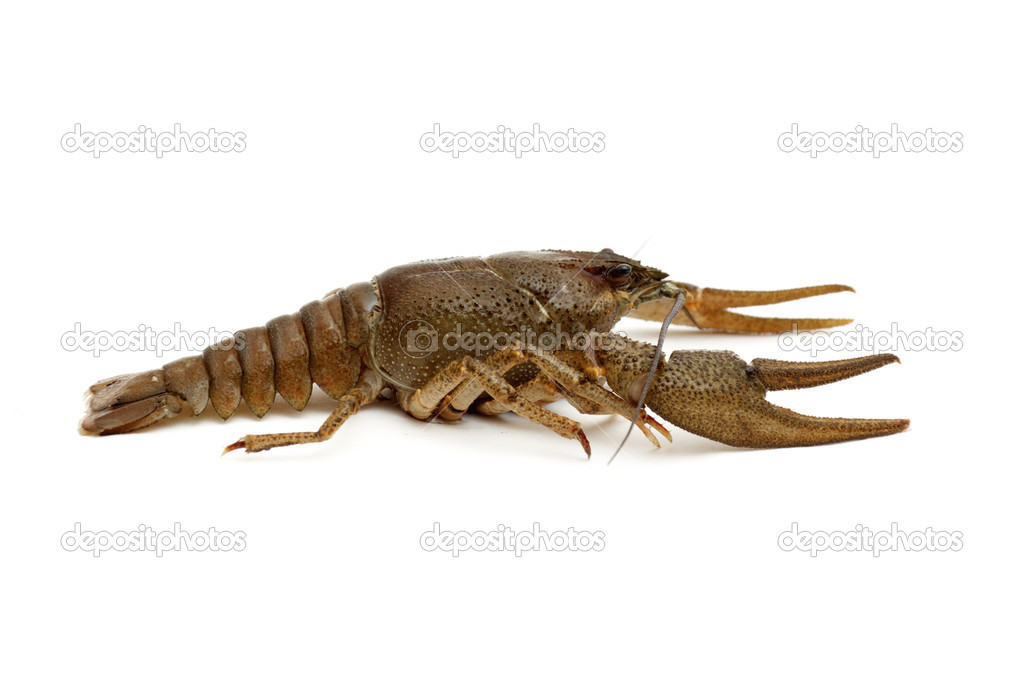Brown Crayfish isolated on a white background. — Stock Photo #4596922