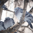 Foto Stock: Pigeon sitting on branch