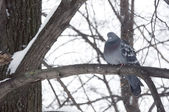 Pigeon sitting on a branch — Foto Stock