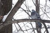 ピジョンの枝に座って — ストック写真