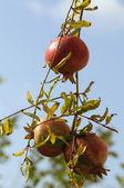 Pomegranate on branch — Stock Photo