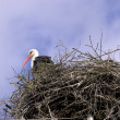 White stork in the nest — Stock Photo