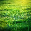 The sun shines a green summer grass. A close up. - Stock Photo