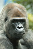 Gorilla face — Stock Photo