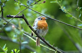 Robin red breast — Stockfoto
