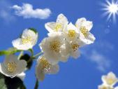 新鮮なジャスミンの枝 — ストック写真