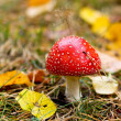 Fly agaric - Stock Photo