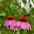 Coneflower with butterfly - Stock Photo