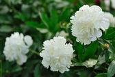White peony — Stok fotoğraf