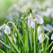 Snowdrops — Stock Photo #4869164