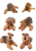 Dog Airedale — Stock Photo