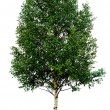 Stock Photo: Single birch tree