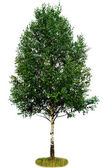 Single birch tree — Stock Photo
