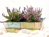 Heathers in old flower-pot — Stock Photo