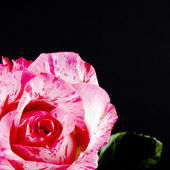 Pink rose flower on black — Stock Photo