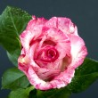 Pink rose flower — Foto Stock