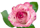 Pink rose on white — Stock Photo