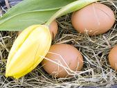 Eggs and yellow tulip lying on hay — Stock Photo