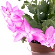 Pink cactus flower on white — Stock Photo