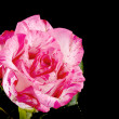 Pink rose on black - Stock Photo