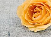 Tea rose on linen background — Stock Photo