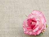Pink rose on linen background — Stock Photo