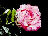 Pink rose on black — ストック写真