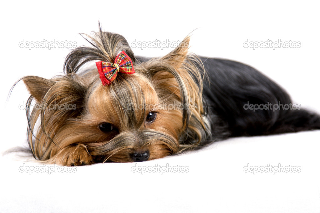 Puppy yorkshire terrier on the white background  — Stock Photo #5134559