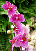Beautiful pink orchids — Stock Photo