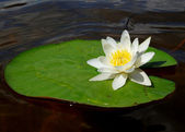 Lake white water-lily on green sheet with water — Stock Photo