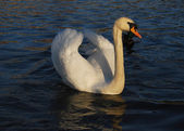 Majestic white swan on a pond — Stock Photo