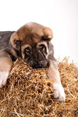 Dog in the hay — Stock Photo