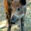 Wild boar — Stock Photo #4582098