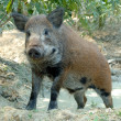 Wild boar — Stock Photo #4582140
