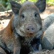 Wild boar — Stock Photo