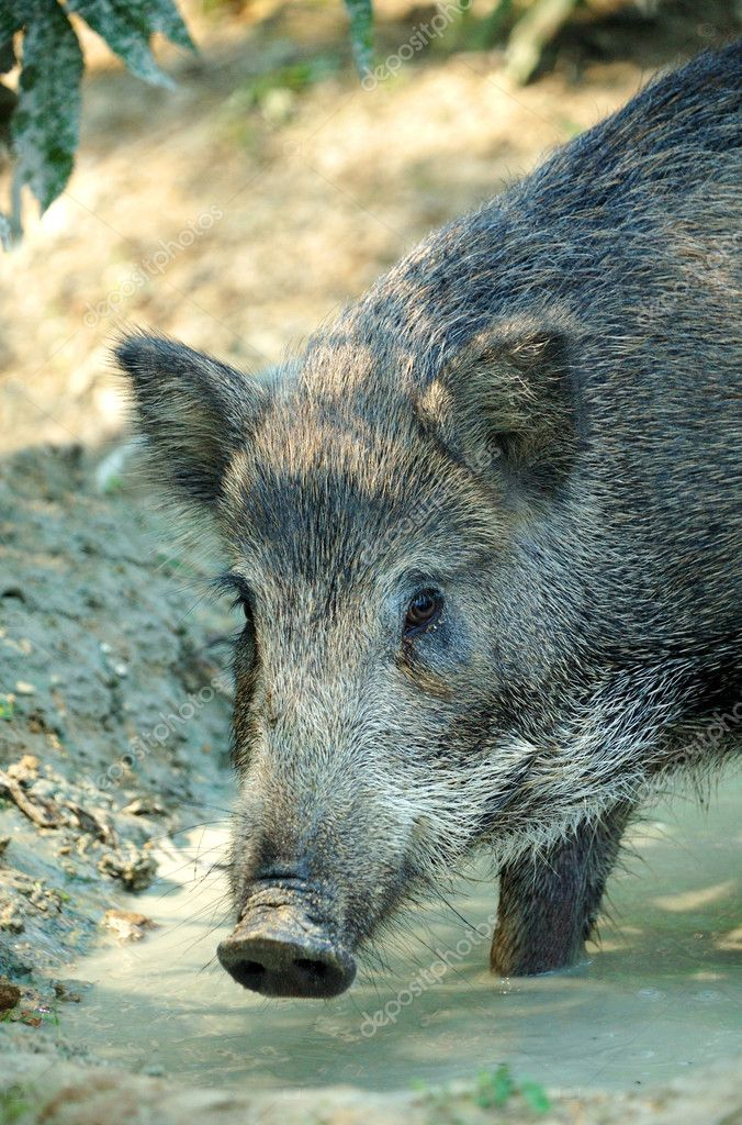 Wild boar  Stock Photo #4582101