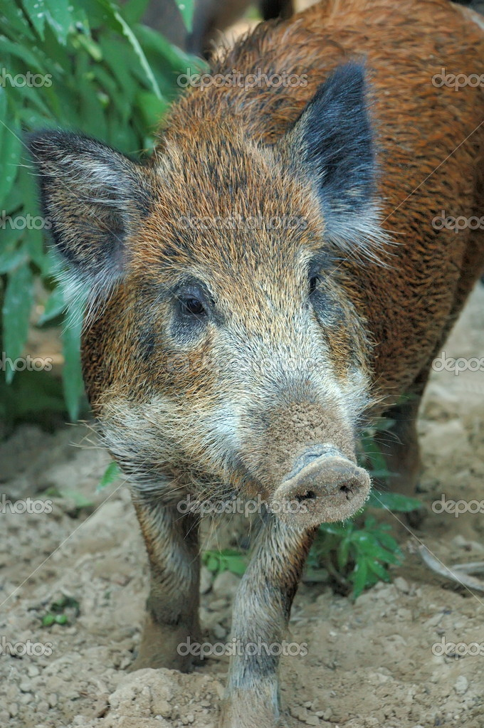 Wild boar — Stock Photo #4582145