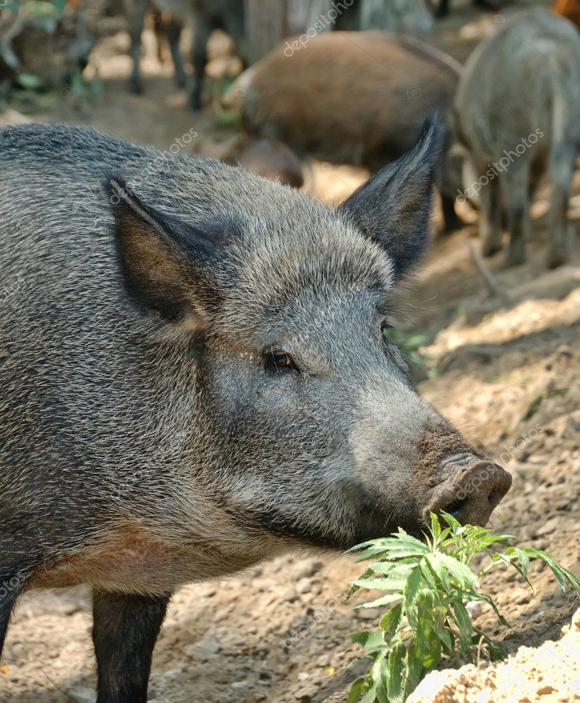 Wild boar  Stock Photo #4582149