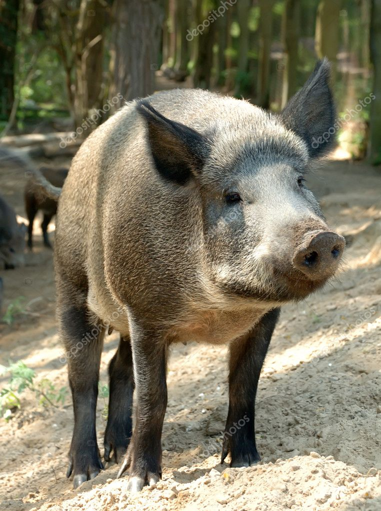 Wild boar  Stock Photo #4582151