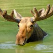 Stock Photo: Elk, moose