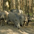 Wild boar — Stock Photo #4639633